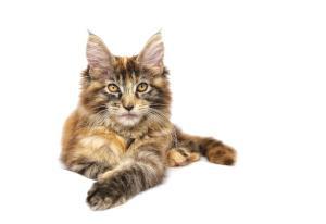 Maine Coon Katze Charakter Farben Zucht Marktde