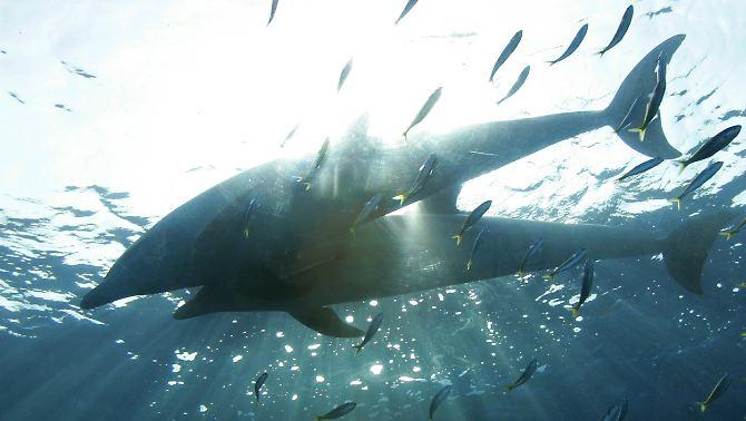 Delfine im Meer vor der japanischen Küste.