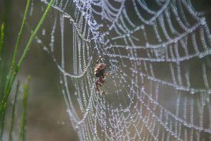Spinne im Taunetz