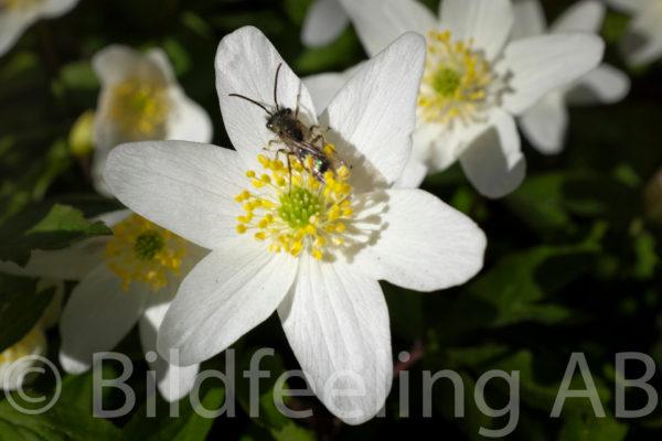 Vitsippa med fluga