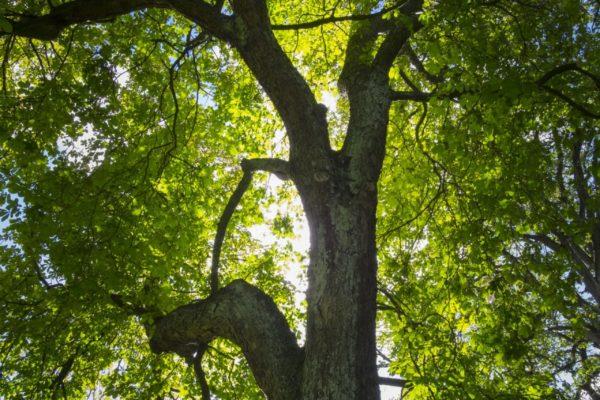 Trädkrona i motljus