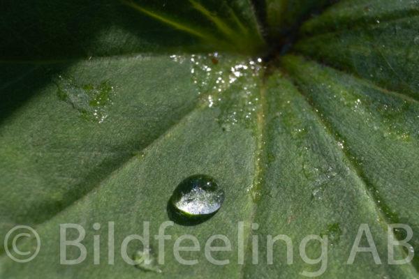 Vattendroppe på blad