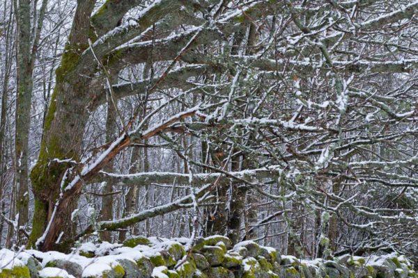 Stenmur om vintern
