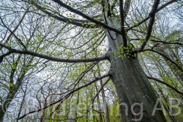 Bokträd
