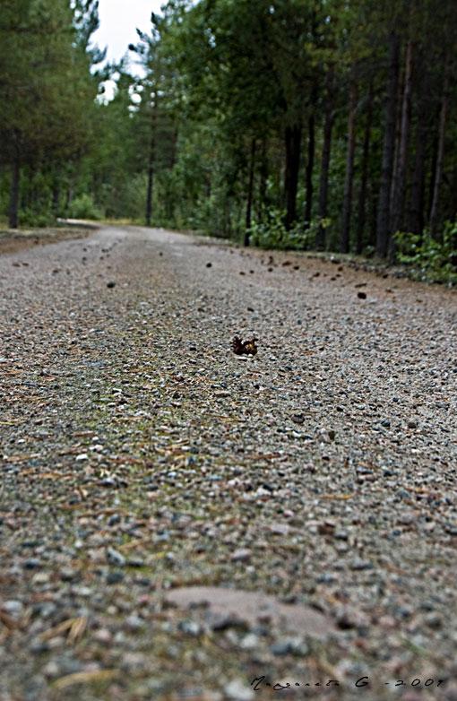 På vägen - mycket kottar och barr men var är björnen?