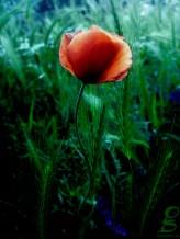 poppy_