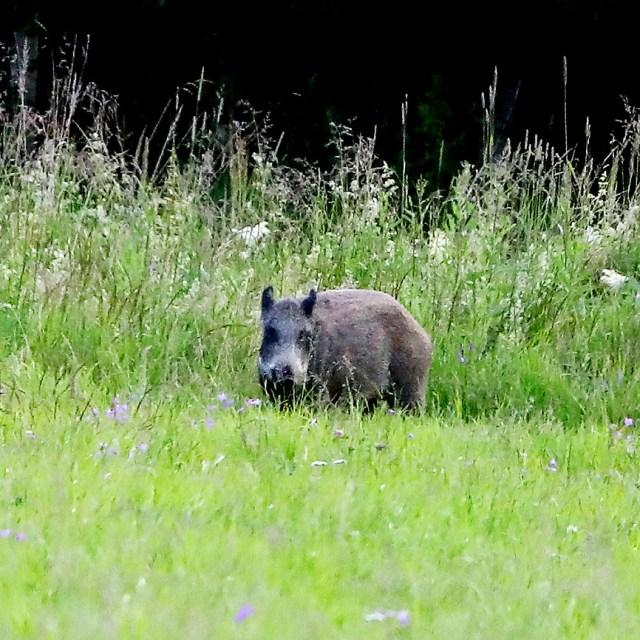 Detta är ett vuxet vildsvin som han fotade tidigare i somras.        Foto: Larsgöran Svensson.