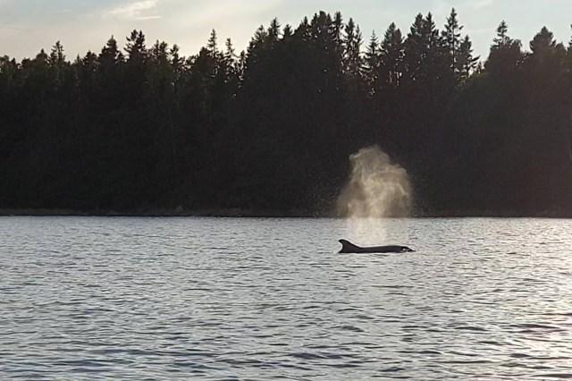 Att en delfin befinner sig i Östersjön är väldigt ovanligt. Foto: Privat.