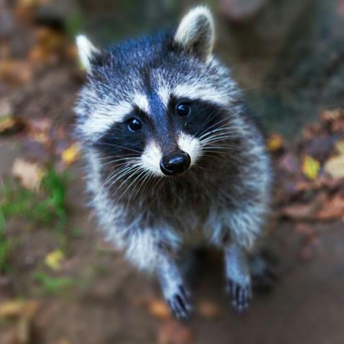 Waschbär - racoon im Natur und Umweltpark Guestrow