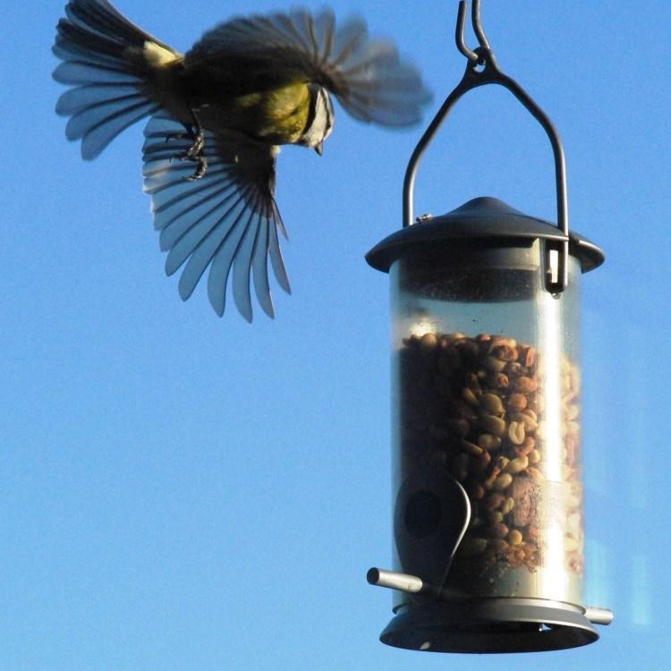 """Fågel fäller ut """"landningsställ"""", lyftkraftshöjande flaps och fartminskande fjäderbroms vid fågelbord. Foto 141225 av Lennart Strandberg för bildrullen.se."""