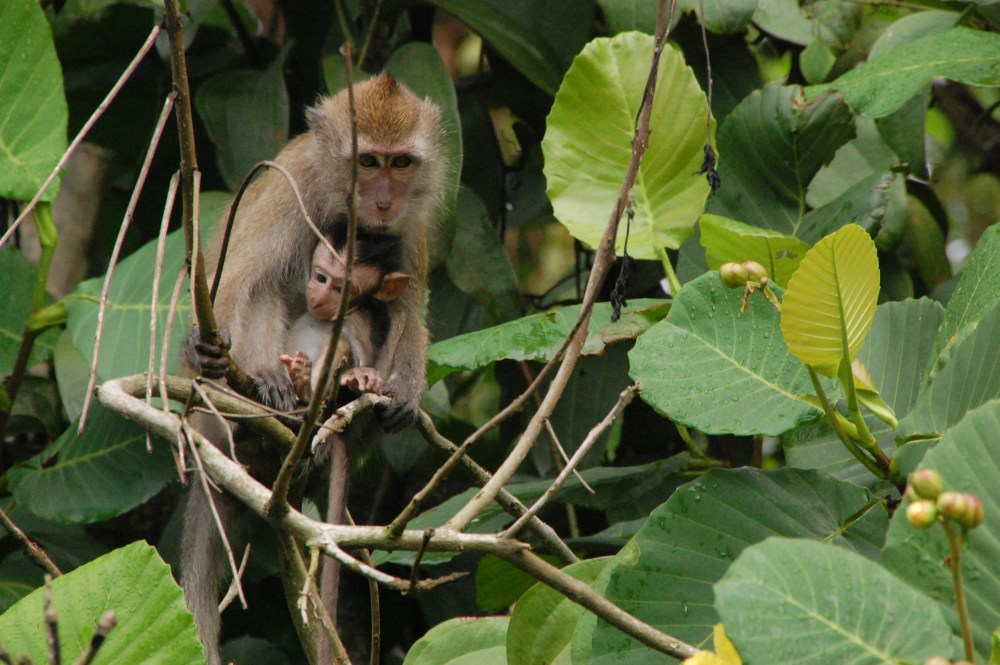 Amy Klegarth and long-tailed macaques in Southeast Asia (2/4)
