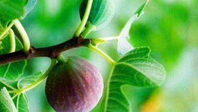 bilgime-7-zeytin-1-incir-diyeti.jpg