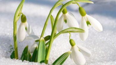 Kardelen Çiçeğinin Hikâyesi, Bakımı ve Yetiştirilmesi