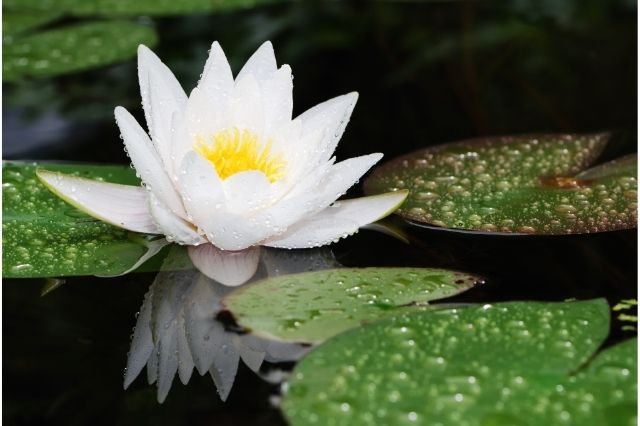 Lotus Çiçeği Anlamı Nedir?