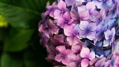 Ortanca Çiçeği Bakımı ve Çoğaltılması Nasıl Yapılır?
