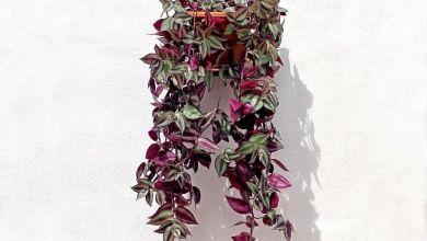 Telgraf Çiçeği Bakımı Nasıl Yapılır, Nasıl Çoğaltılır