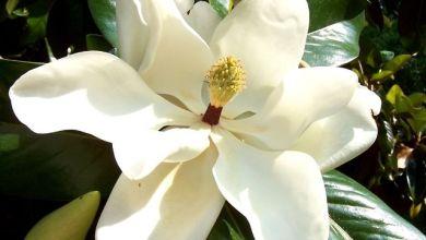 Manolya Çiçeği Bakımı ve Anlamı