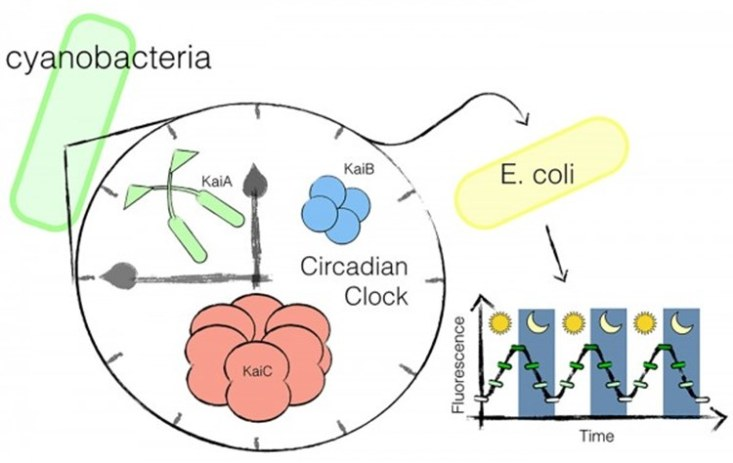 Researchers have transplanted a circadian clock from cyanobacteria into a gut microbe, E. coli.