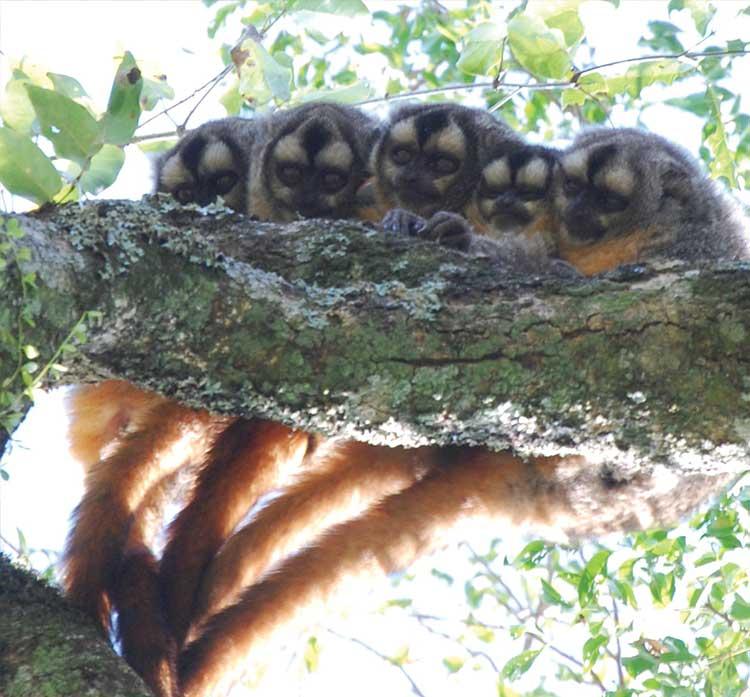 Azara baykuş maymunları kuyruk temasıyla, hem partnerler hem de yavrular birbirine yakın durarak daha derin duygusal bağların gelişmesine neden olur.
