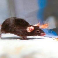 Fare Beyni Lazerle Uyarılarak Öldürme İçgüdüsü Kontrol Edildi
