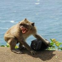 """""""Fidyeci"""" Maymunlar Önce Çalıyor, Sonra Takas Ediyor"""