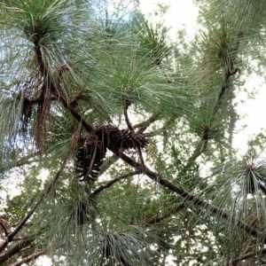 Pinus palustris eterično ulje