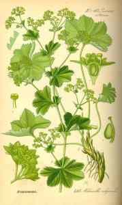 Biljka Alchemilla vulgaris