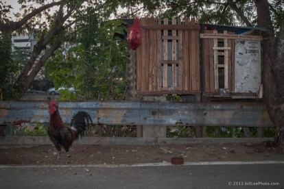 IMG_9619---chicken__copyright-201301__Manila__Philippines__rooster__travel