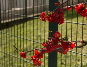 Espalied on the fence