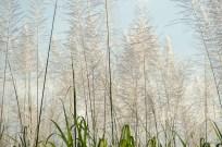 sugarcane6-1