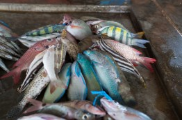 closeup-colorful-fish-kopi-port-moresby-papua-new-guinea