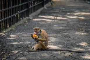 monkey-food-kandy-sri-lanka