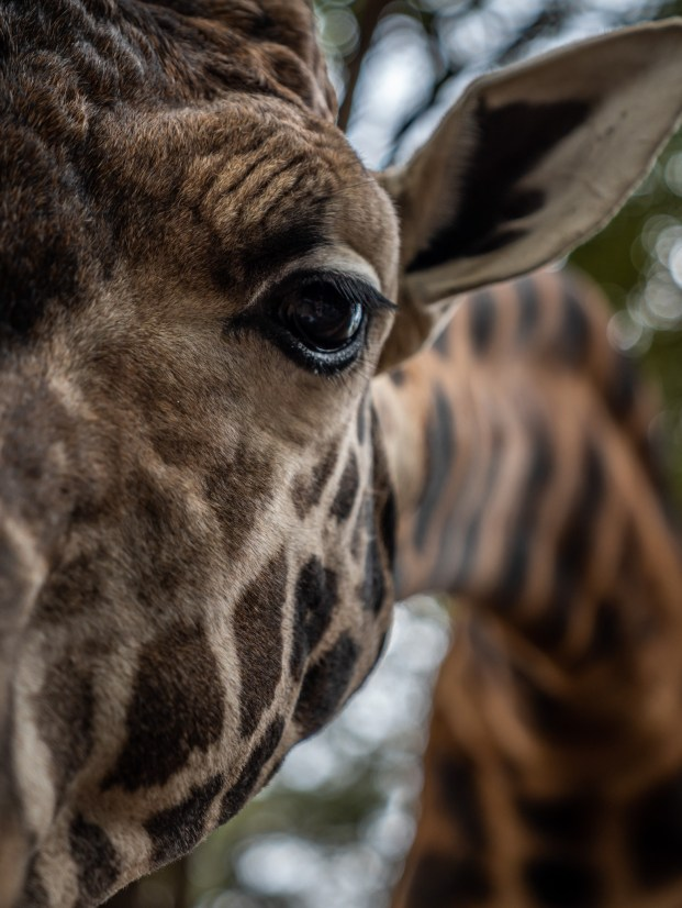 giraffe-eye-closeup