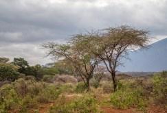 acacia-trees-tsavo