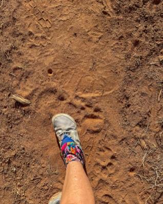 Lion and elephant tracks