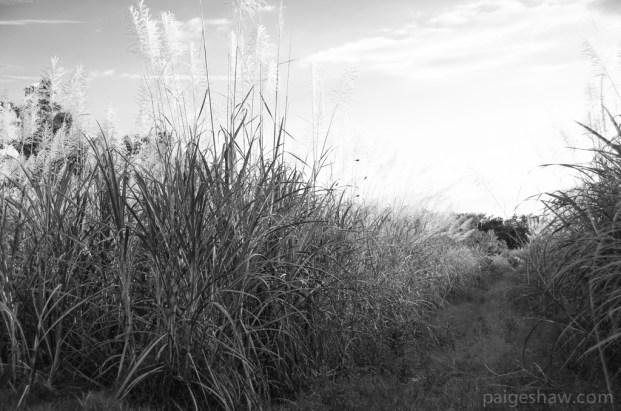 Sugar Cane Costa Rica