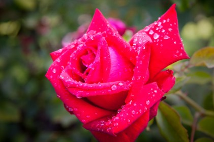 Carolyn's Red Rose 4x6