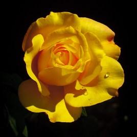 Carolyn's Yellow Rose 4x4