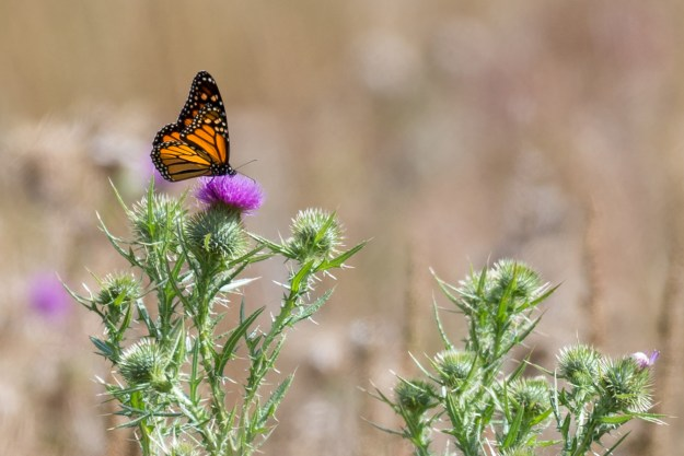 A monarch butterfly rests momentarily atop a New Mexico thistle flower at Logan's Crossing near Flagstaff, Arizona. This photo was made with a Nikon D610 and 200-500mm f/5.6E at 500mm, f/5.6, ISO 400, 1/1000-second. It has been cropped and processed to taste in Adobe Lightroom. (Bill Ferris)