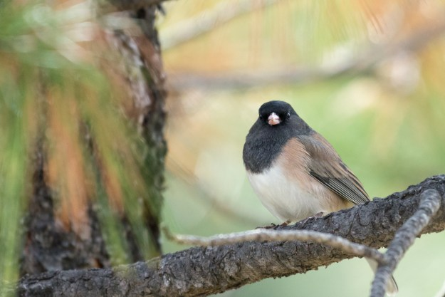 A dark-eyed junco sits perched on a tree branch in Raymond County Park in Kachina Village, Arziona. This photo was taken with the Nikon D610 and 200-500mm f/5.6E at 500mm, f/5.6, ISO 2800, 1/1000-second. It has been cropped processed to taste in Adobe Lightroom. (Bill Ferris)