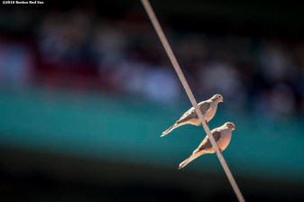 BOSTON, MA - APRIL 17: Birds sit on a netting wire during a game between the Boston Red Sox and the Toronto Blue Jays on April 17, 2016 at Fenway Park in Boston, Massachusetts . (Photo by Billie Weiss/Boston Red Sox/Getty Images) *** Local Caption ***