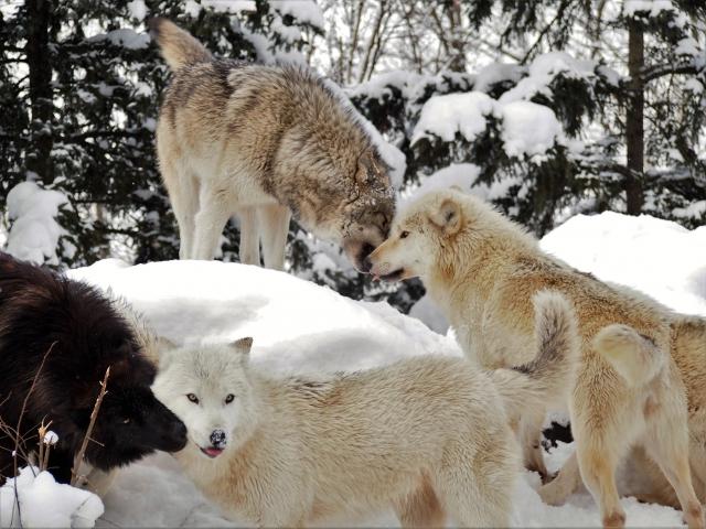 オオカミってカッコいい! その魅力について!! オオカミの群れ【ウルフパック】