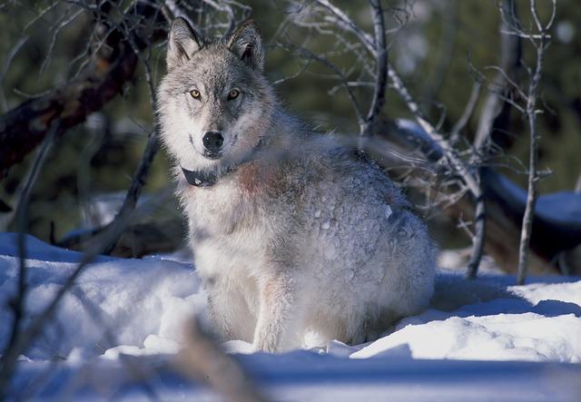 オオカミってカッコいい! その魅力について!! 【オオカミの再導入】