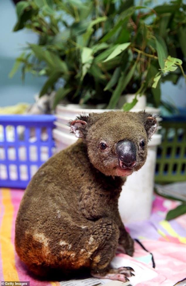 Saves Nine Koalas From Hellfire As Oz Burns!
