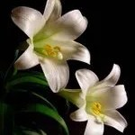 Easter lily 762433
