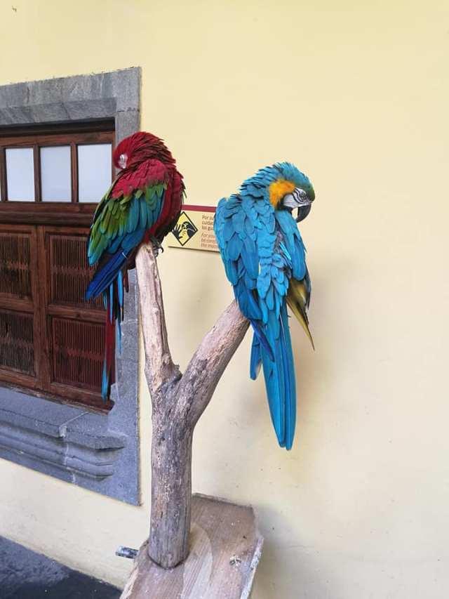 Macaws in Las Palmas