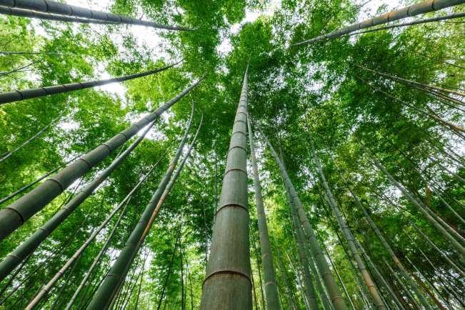 Bamboo forest in summer