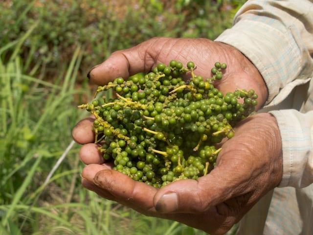 Poivre de Kampot vert