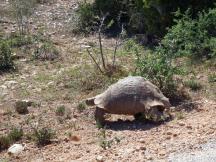 Addo - Tortoise
