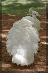 925de59b66b1492e5033d865069e7f3d--albino-peacock-peacock-bird